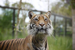 Tiger 2 by awropa