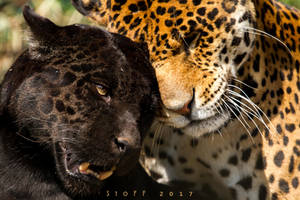 Jaguars by StoFF-1990
