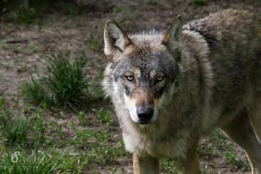 Wolf's gaze by StoFF-1990