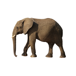 Elephant PNG by gillhjuanita