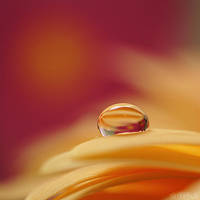 gerbera square drop. by simoendli