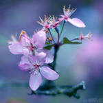 sakura. by simoendli