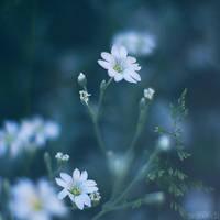 white princess. by simoendli
