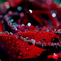 liquid rose.2 by simoendli
