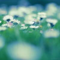 daisies. by simoendli