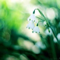 snowdrop. by simoendli