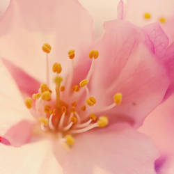 soft cherry. by simoendli