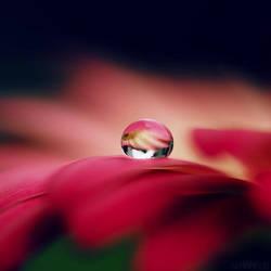 gerbera droplet. by simoendli