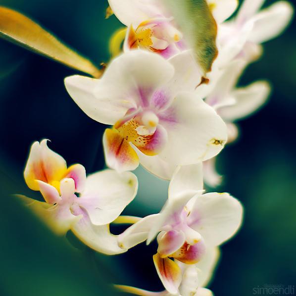 orchid. by simoendli