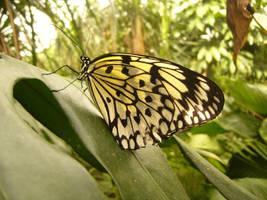 Butterfly by Lunet