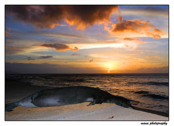 Monk Seal at Sunset by manaphoto
