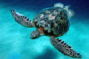 Majestic Turtle by manaphoto