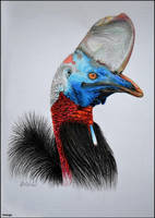 Southern Cassowary by Verenique