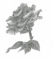 Rose 1 by alpha-dragon