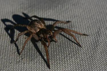Macro Shot: Spider by Amana07