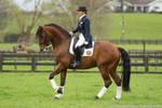 Lusitano stallion stock by Valkyrie-Stock