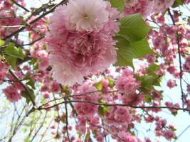 Cherry Blossom by pisthelimit
