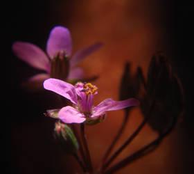 Winter Blooms - Erodium Cicutarium by Phenix59
