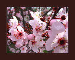 Prunus cerasifera by almostAMAZING