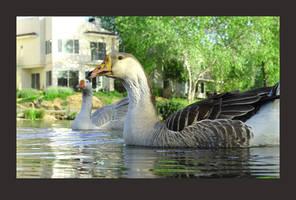 neighborhood geese by almostAMAZING