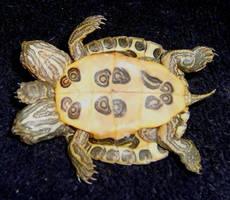 Freak 2 Head 5 Leg Turtle 4 by DETHCHEEZ