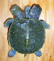 2 Headed 5 Legged Turtle Gaff by DETHCHEEZ