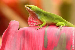 Kauai Anole Lizard by snak
