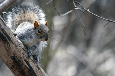 Rebel gray squirrel by GuillaumGibault