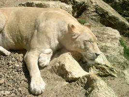 White-Lion by shaze