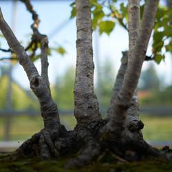 Birch bonzai by binarymind