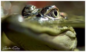 Crocodile Peeping by jaydoncabe
