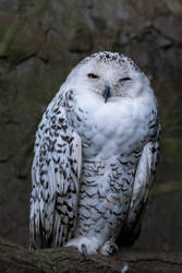 snowowl by Perseus67