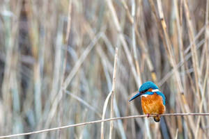King fisher by Perseus67