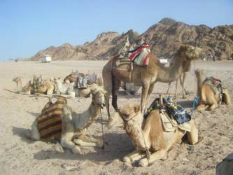 camels by kram666