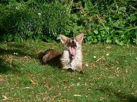 vixen's  yawning by kram666