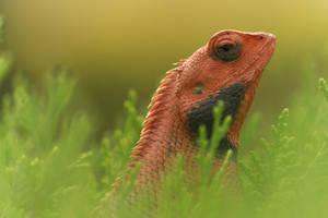 Oriental Garden Lizard by himphotography