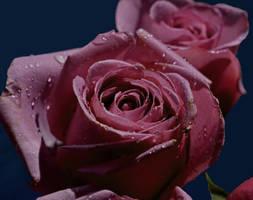 Roses3 by tanzenderengel
