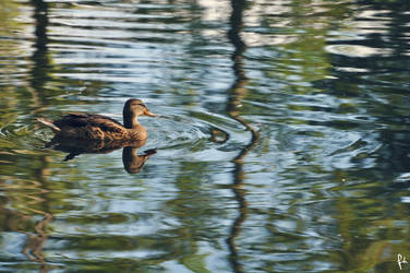 Duck. by FatmaHesham