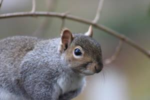 Grey Squirrel (Sciurus carolinensis) by Serial-Painter