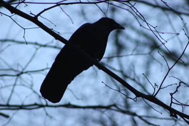 Carrion Crow (Corvus corone) by Serial-Painter
