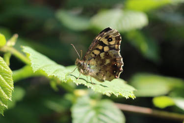 Speckled Wood Butterfly by Serial-Painter