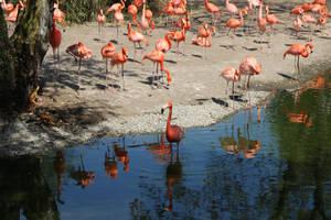Caribbean Flamingo by Serial-Painter