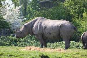 Eastern Black Rhinoceros by Serial-Painter