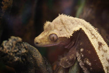 Crested Gecko by Serial-Painter