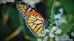 (Feeding) Monarch Butterfly by OnlyNature