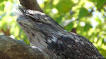 Tawny Frogmouth by OnlyNature