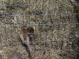 Baby Monkey by Aximili-6116