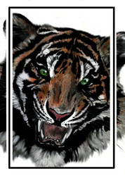 TIGER -colored by KSowinski