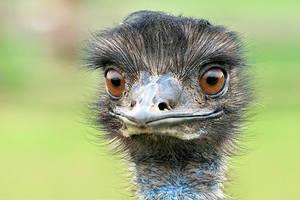 Emu by petege