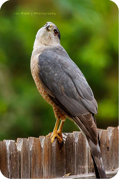 .: Cooper's Hawk - Creepy Look :. by jon-rista